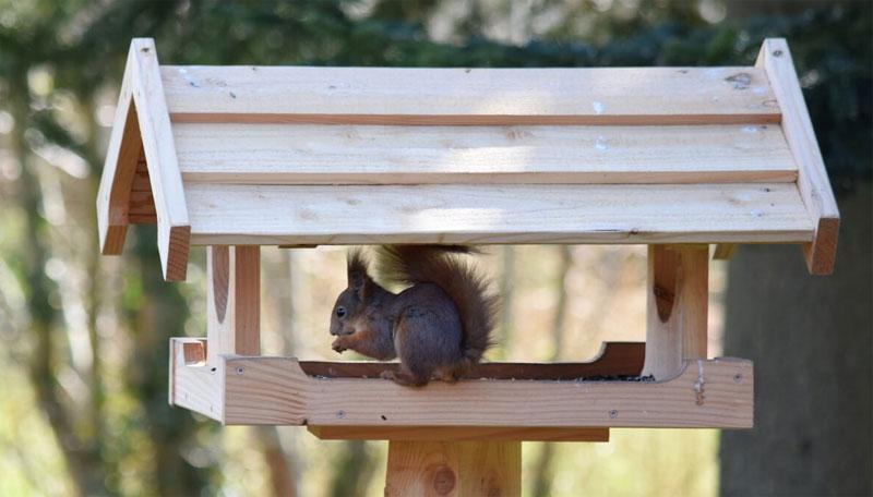 Et egern besøger et fuglebræt i sin søgen på solsikkefrø