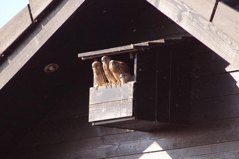 Tårnfalke unger i en tårnfalkekasse opsat på en gavl